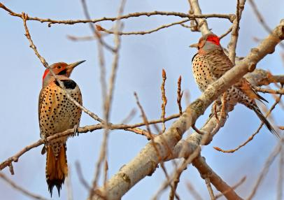 Pair of Northern Flickers